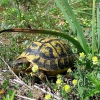 Une Tortue d'Hermann